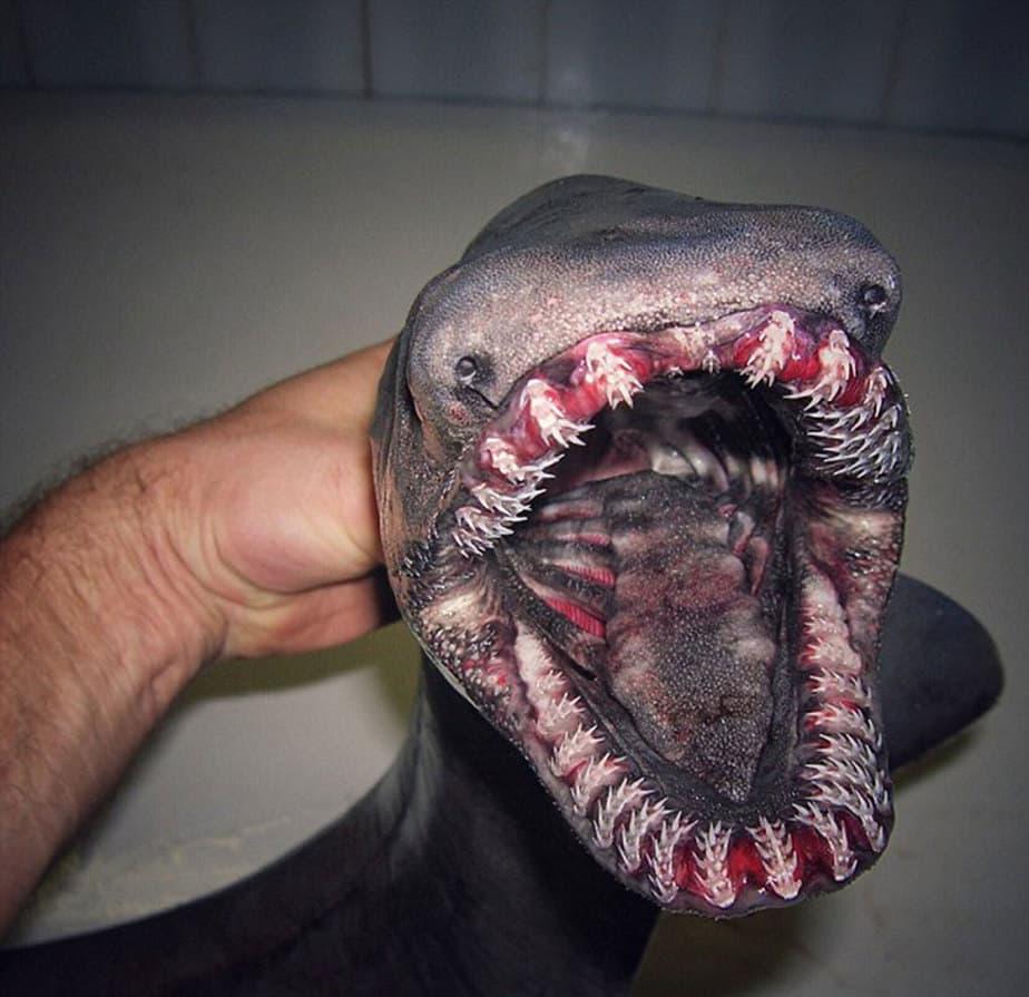 """El """"tiburón anguila"""" o """"tiburón de gorguera"""" es una extraña especie a la que se conoce como un """"fósil viviente"""". Puede devorar peces enormes a los que retiene con su filosa dentadura"""