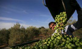 Las aceitunas españolas pueden ser el objetivo de otra guerra comercial