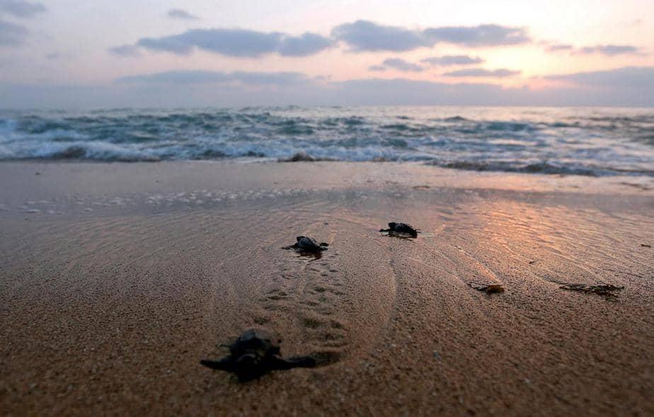 Las tortugas de mar bebé arrastran al mar en una costa en el pueblo de El-Mansouri, cerca de la ciudad meridional de Tiro, Líbano