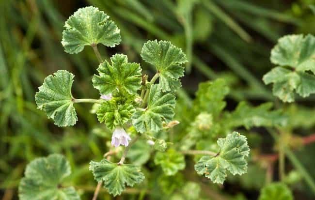 5 plantas comestibles que se encuentran en el jardín