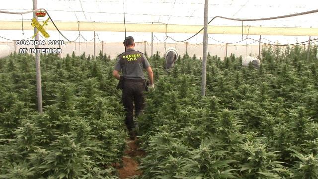 Marihuana Los cultivos de las plantas de marihuana estaban sectorizados por tamaños y variedades, teniendo una altura entre los 1,5 y 2,5 metros