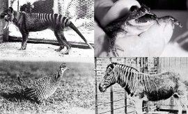 Estos cuatro animales podrían ser traídos de la extinción