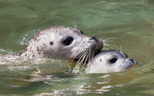 La foca anillada, afectada por el cambio climático