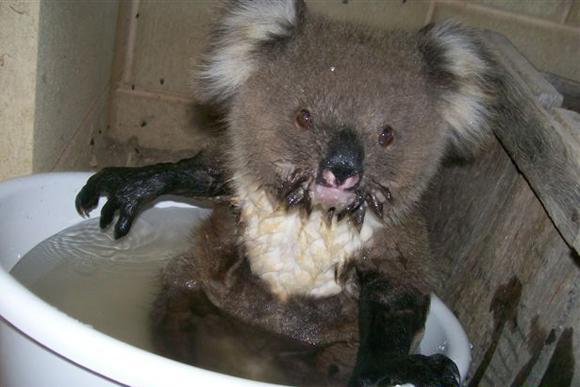 El koala, afectado por el cambio climático