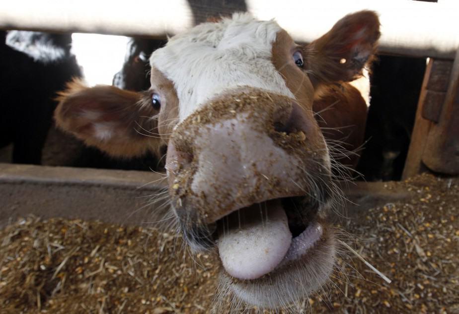 La enfermedad de las vacas locasllegó a España en el año 2000, cuando se detectó la primera vaca infectada