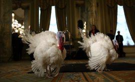 Los pavos más afortunados del año ha disfrutado de todos los lujos previo al acto de acción de gracias
