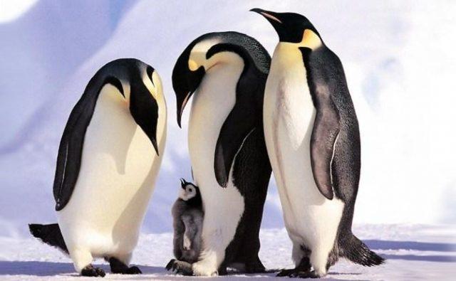 El pinguino emperador, afectado por el cambio climático