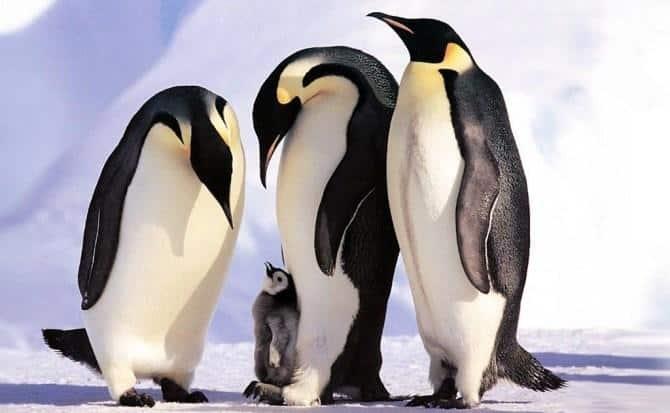 Pingüinos de tamaño humano existieron en el planeta