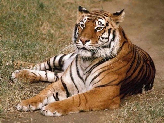 El tigre de Bengala, afectado por el cambio climático