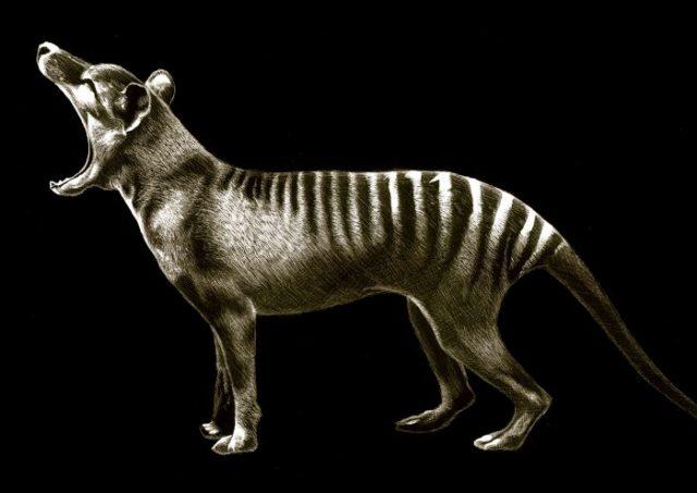 Tilacino: Estos animales podrían ser traídos de la extinción