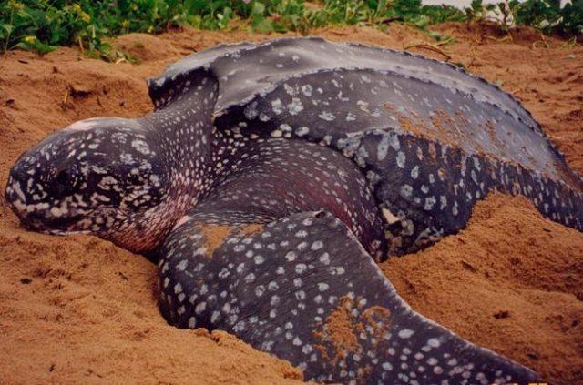 La tortuga laúd, afectada por el cambio climático