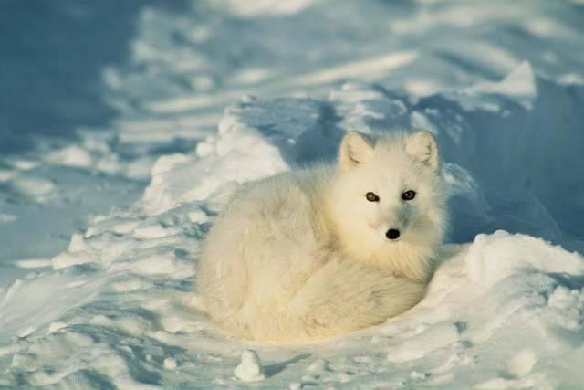 El zorro ártico, afectado por el cambio climático