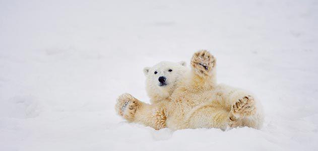 El Refugio Nacional de Vida Silvestre del Ártico en Alaska es el hogar de cientos de osos polares