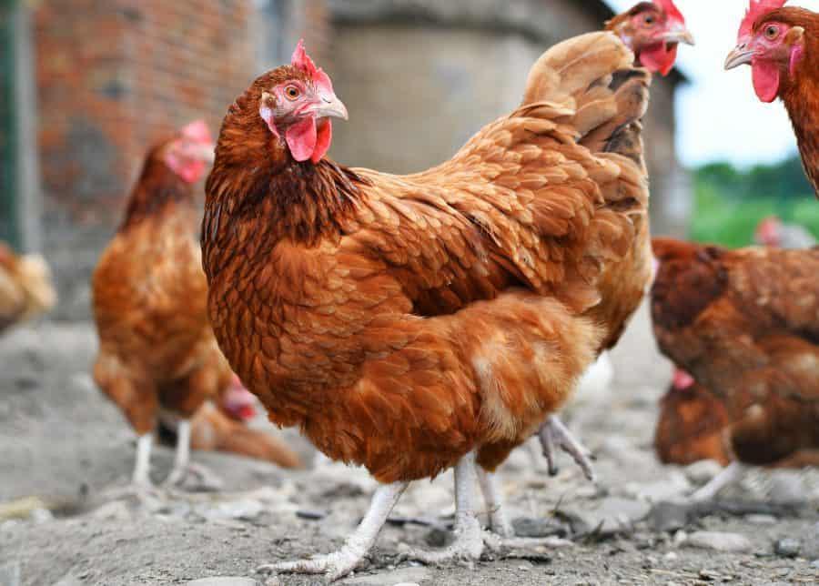 Gallinas enjauladas. Lidl ya no vende huevos de gallinas enjauladas en España