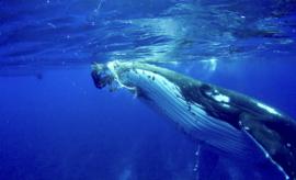 Una ballena protege a un buzo de un tiburón al asecho