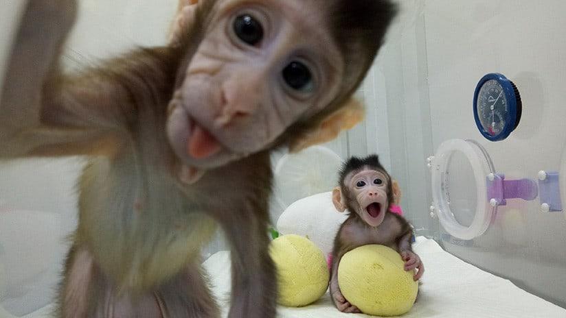 Hua Hua y Zhong Zhong, los monos clonados en China.