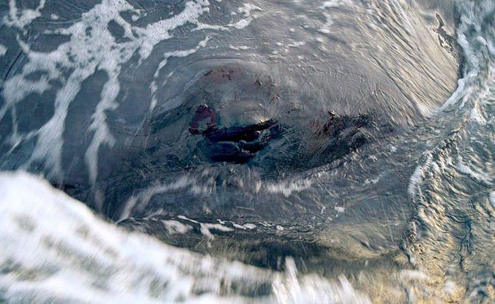 Lo que pasó con la ballena hallada muerta en España