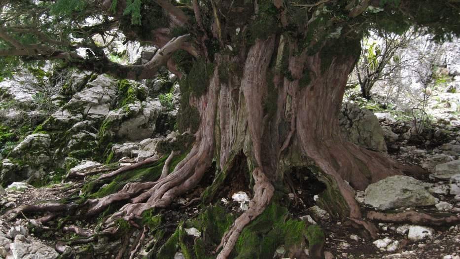 árbol más viejo de España