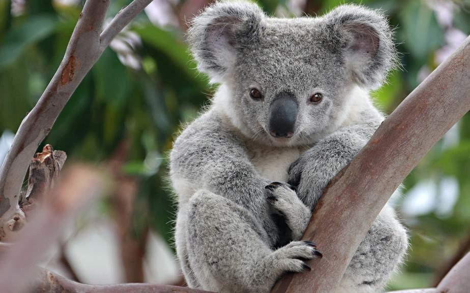 Australia protege a sus koalas