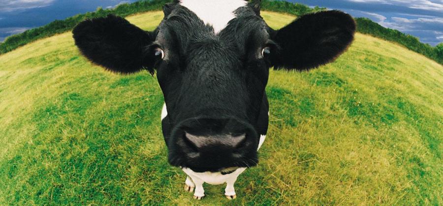 Nueva Zelanda sacrifica a las vacas