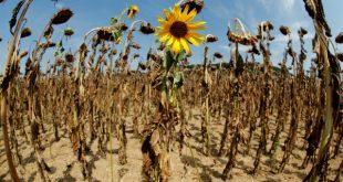 Flores se marchitan debido a las importantes olas de calor registradas en el hemisferio norte debido a las altas temperaturas