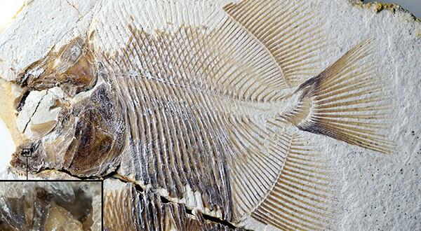 Una especie de piraña vivió hace 152 millones de años