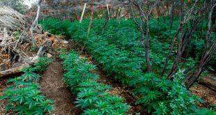 Plantación de marihuana antes de ser destruida por las autoridades en Sierra Juarez, México. Jul 16, 2018. REUTERS/Jorge Duenes