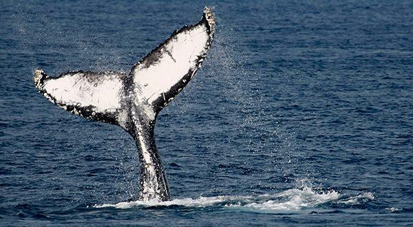 Japón reanudará la pesca comercial de ballenas a partir de julio de 2019, una vez culmine su acuerdo que lo mantiene atado a la Comisión Ballenera Internacional/Reuters