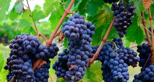 Producción de vino en 2018