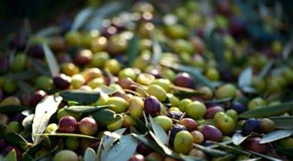 El desarrollo tecnológico de Agroisa con el apoyo de Cetaex arroja una mejor calidad del aceite de oliva para consumo humano y una contribución sustantiva con la adecuada utilización del recurso del agua.