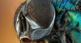 La mosca negra —cuando muerde— quita un poco de piel e inocula un anestésico y un poco de anticoagulante para poder estar un rato chupando sin que el individuo afectado se dé cuenta.