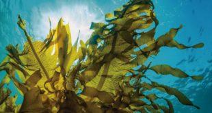 Científicos desarrollan biolpástico con algas marinas