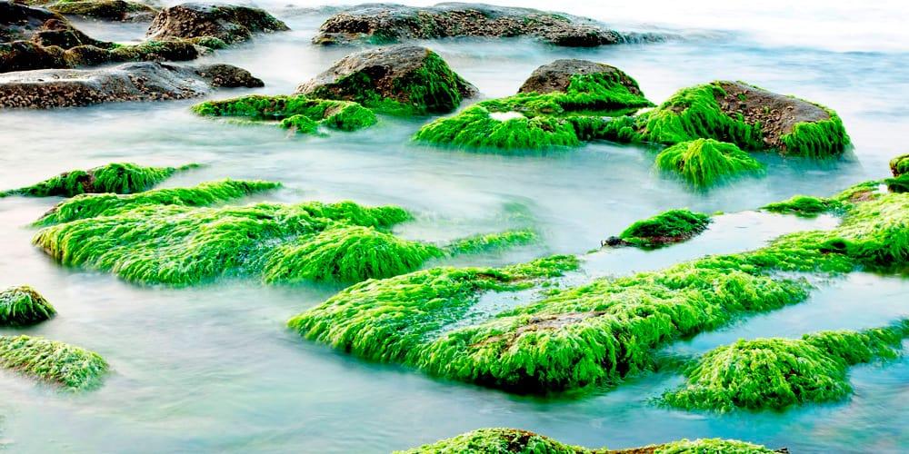Las investigaciones sobre las algas marinas podrían derivar en grandes avances contra la contaminación.