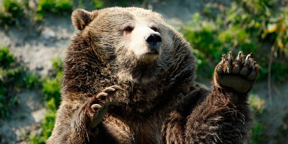 Una nueva investigación determinó una nueva faceta de los osos.