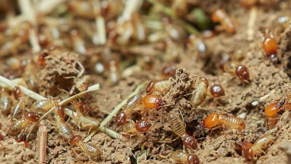Las termitas tienen un enorme poder devastador que,no obstante, pueden ayudar a combatir el cambio climático