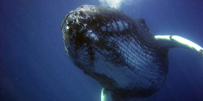 Ballenas jorobadas: de la casi extinción a una asombrosa recuperación