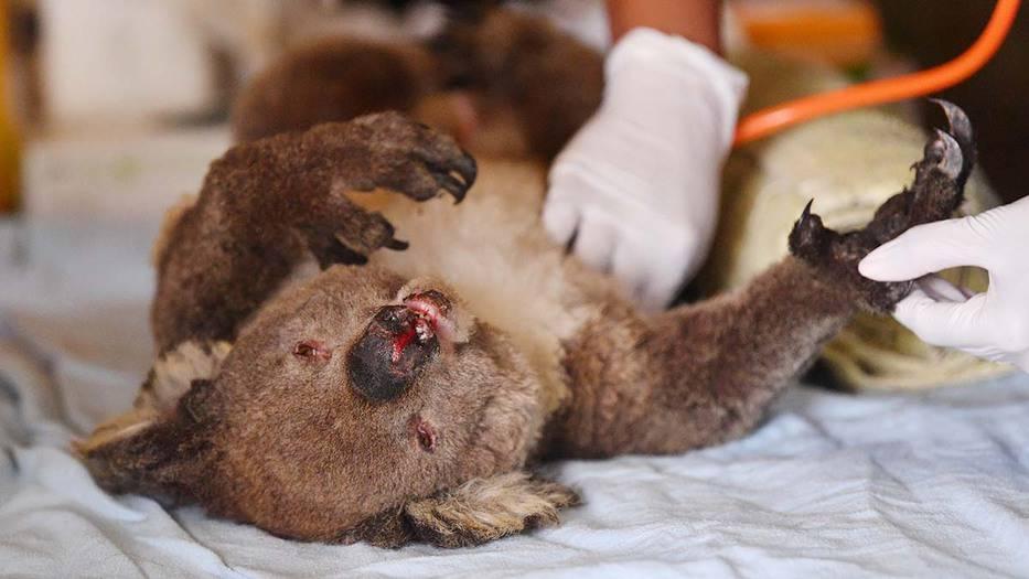 Los veterinarios y voluntarios tratan a los koalas en Kangaroo Island Wildlife Park en Kangaroo Island, suroeste de Adelaida, Australia, 10 de enero de 2020. Foto: David Mariuz