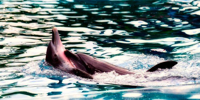 Al igual que en la cuenca del Amazonas, el delfín rosado también habita la cuenca alta del río Madeira en Bolivia y la cuenca del Orinoco/Pixabay/Foto referencial