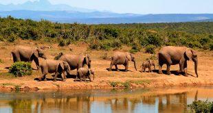 La caza furtiva por el marfil de sus colmillos y carne se ha convertido en su principal amenaza/Pixabay