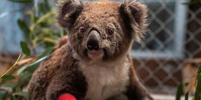 El koala en peligro de extinción al sur de Australia