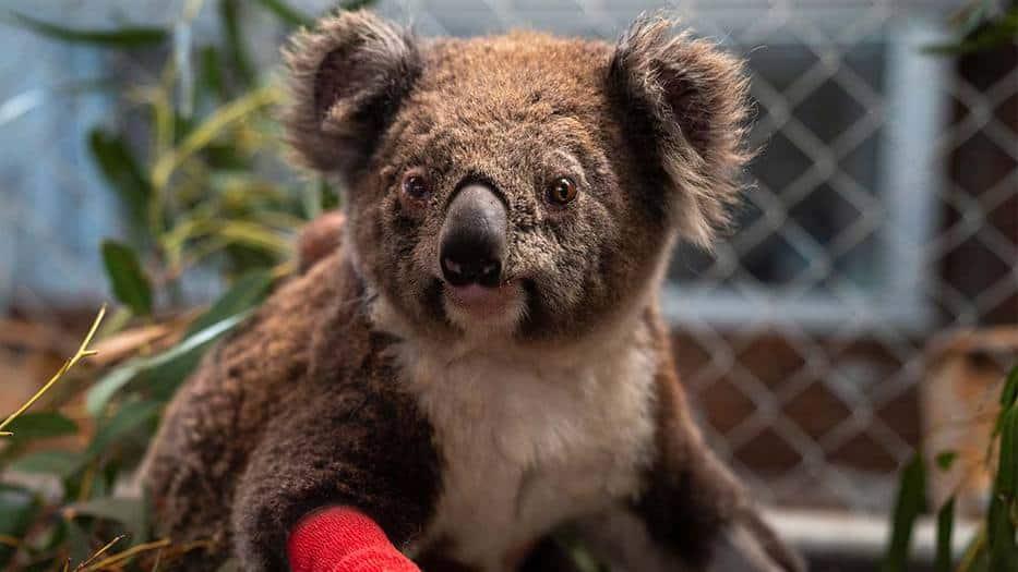 Koalas-en-peligro-de-extinción