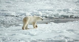 El deshielo y la pérdida de su hábitat están aumentando el canibalismo entre los osos polares/Pixabay