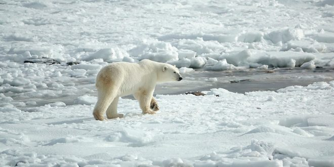 Deshielo y pérdida de su hábitat elevan canibalismo en el oso polar