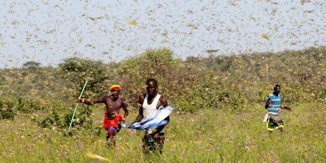 Infestación de langostas del desierto podría aumentar 500 veces en Kenia