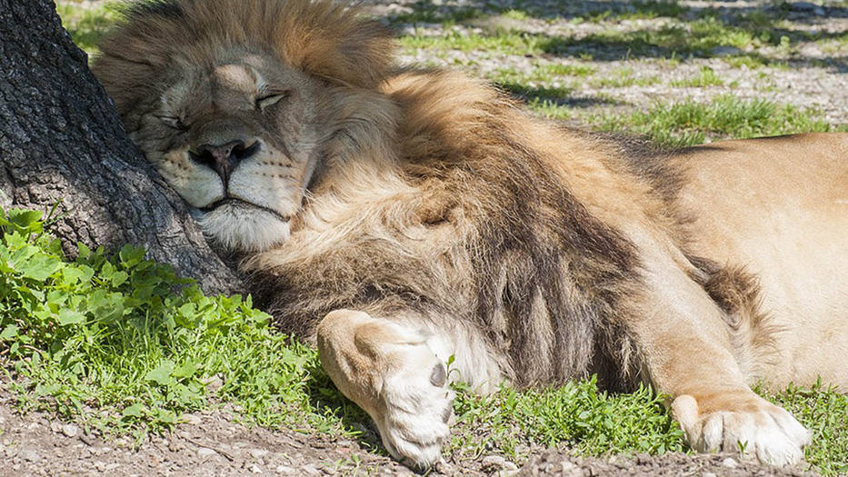 León del Safari Park de Pombia (Italia). Las medidas de confinamiento dificultan las tareas de atención y alimentación de los animales del zoo..