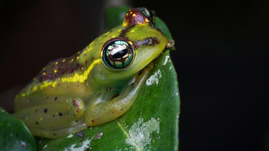 Un estudio reveló la estrecha relación entre las altas temperaturas y la extinción de especies. La rana de Madagascar podría estar en peligro de desaparecer.