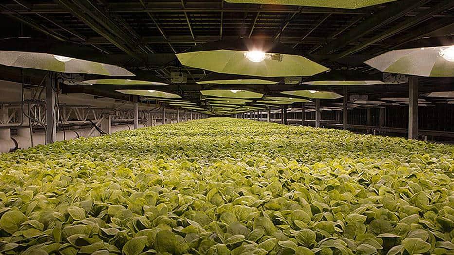 KBP cultiva plantas de tabaco para el desarrollo de vacunas / BAT Web