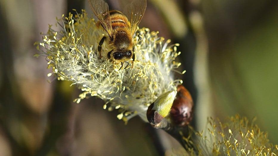 Descubren extraña abeja