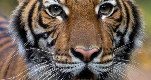 Tigresa del zoo