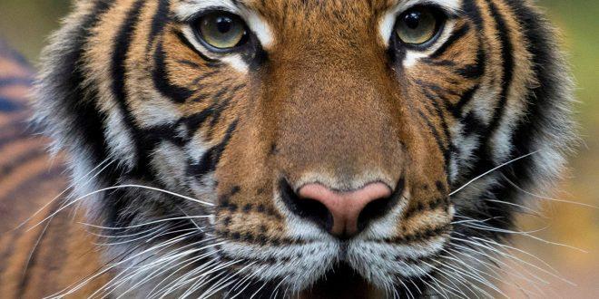 Tigresa del zoo del Bronx en Nueva York dio positivo por coronavirus